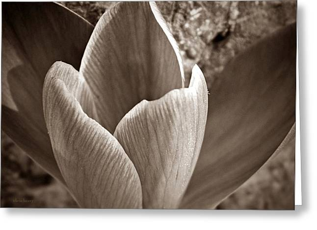 Crocus  Greeting Card by Chris Berry