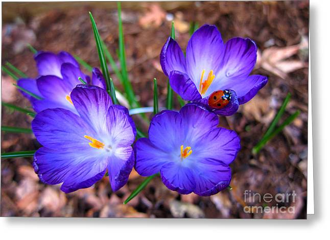 Crocus Flowers And Ladybug Greeting Card