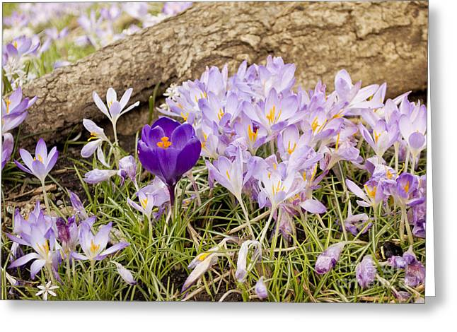 Crocus Garden In Spring Greeting Card