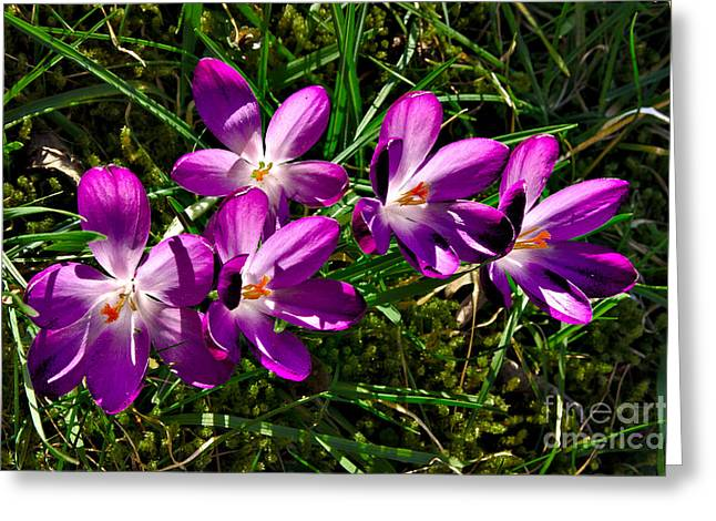 Greeting Card featuring the photograph Crocus In The Grass by Jeremy Hayden