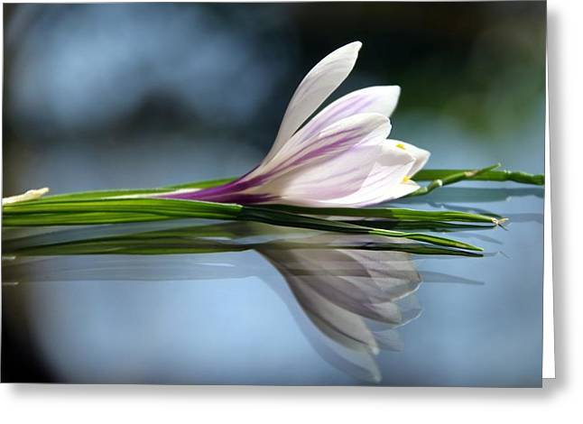 Crocus Reflections Greeting Card by  Andrea Lazar