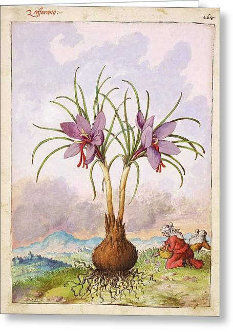 Crocus Sativus Flowers Greeting Card by British Library