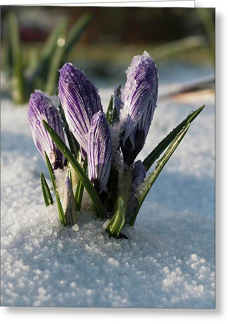 Crocus Sprouts Near The End Of Winter Greeting Card by Robert L. Potts