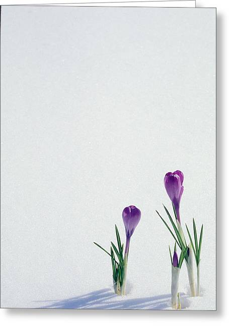 Crocuses In The Snow Greeting Card