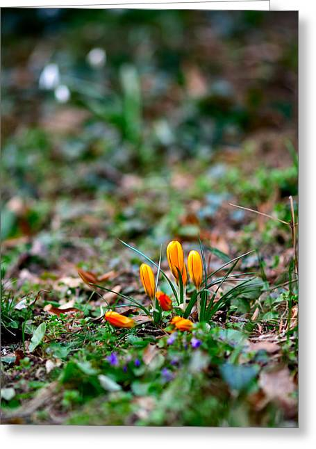 Crocuses Greeting Card