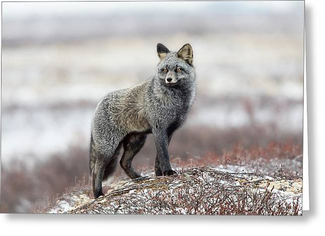 Cross Fox Greeting Card