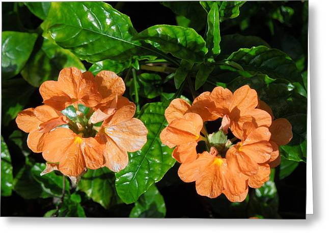 Greeting Card featuring the photograph Crossandra by Ron Davidson