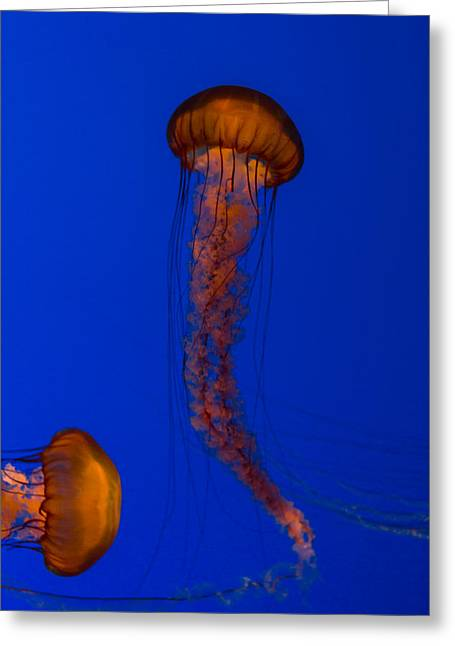 Crossing Pacific Sea Nettles 1 Greeting Card by Scott Campbell