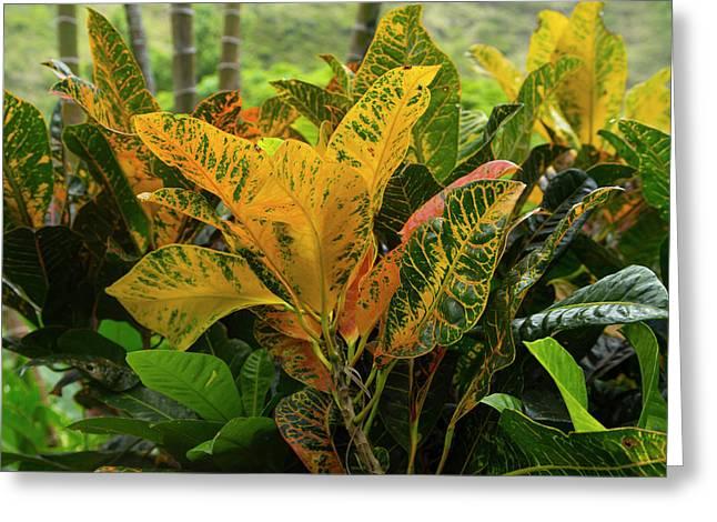 Croton, Waipio Valley, Hamakua Coast Greeting Card