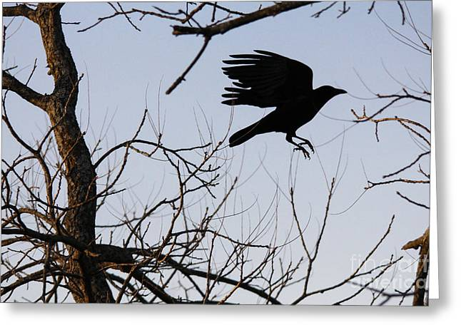 Crow In Flight Greeting Card by Jill Bell