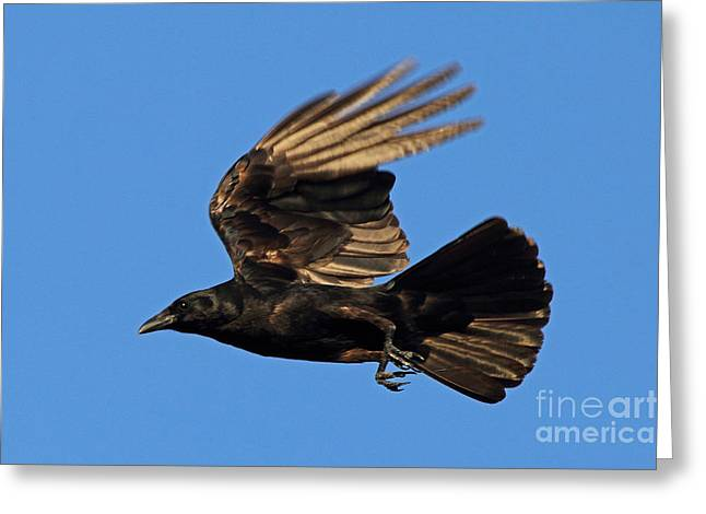 Greeting Card featuring the photograph Crow In Flight by Meg Rousher