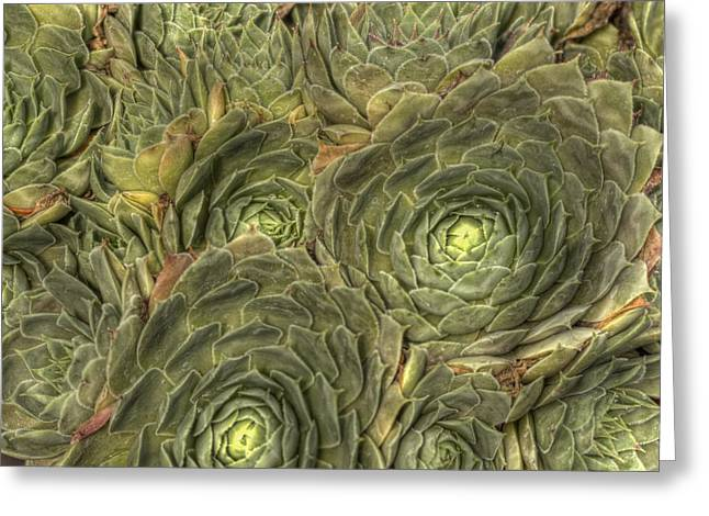Crowded Pot Of Hens And Chicks Greeting Card by Jean Noren