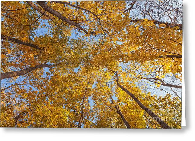 Crown Of Trees With Clear Blue Sky Greeting Card by Aleksey Tugolukov