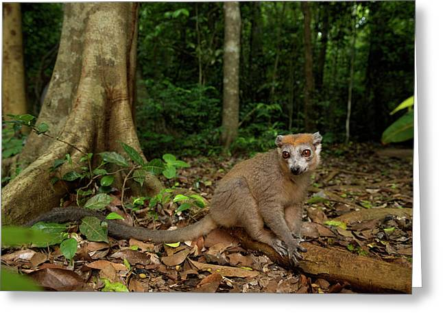 Crowned Lemur (eulemur Coronatus Greeting Card