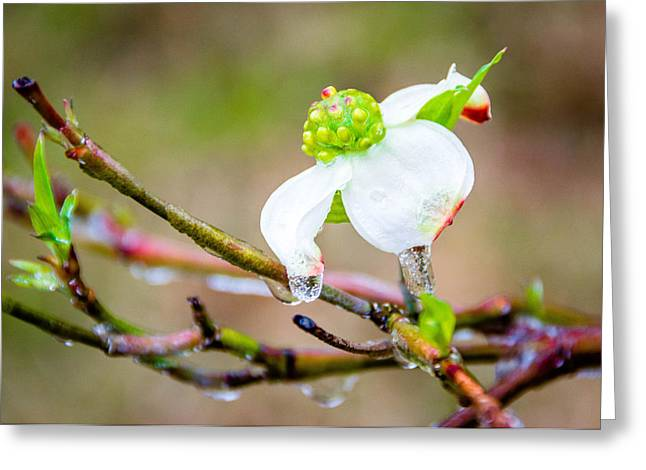Cruel Winter For A Dogwood Flower Greeting Card