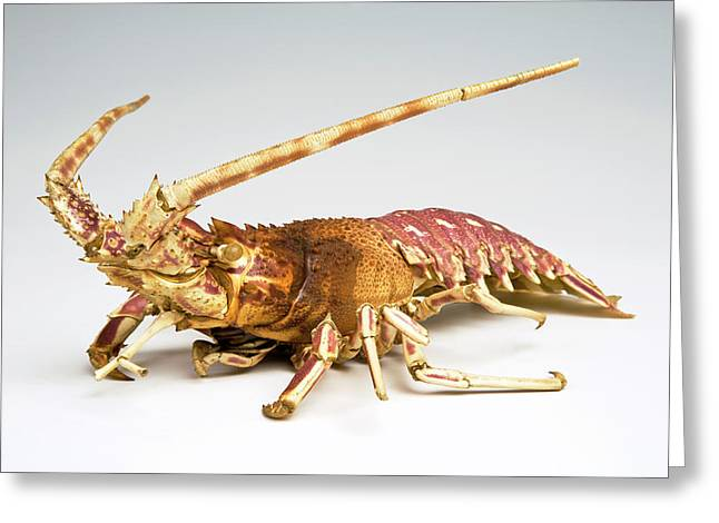 Crustacean Greeting Card by Ucl, Grant Museum Of Zoology