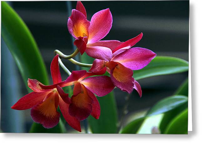 Greeting Card featuring the photograph Ctna New River Orchid by Greg Allore