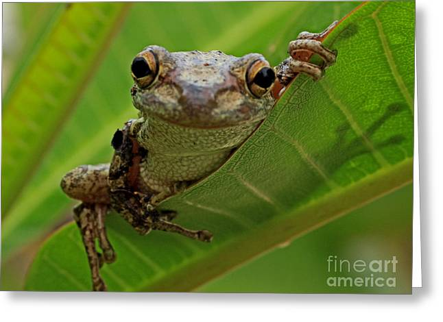 Cuban Tree Frog Greeting Card