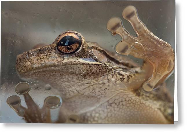 Cuban Treefrog Greeting Card by Paul Rebmann