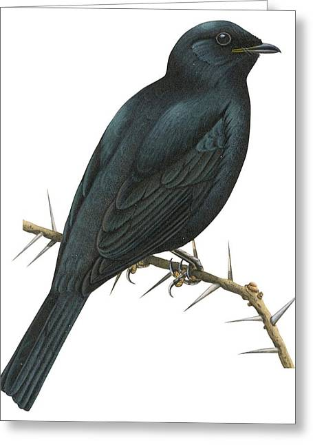Cuckoo Shrike Greeting Card by Anonymous