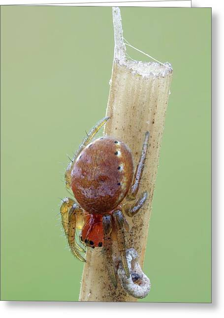 Cucumber Spiderling Greeting Card by Heath Mcdonald