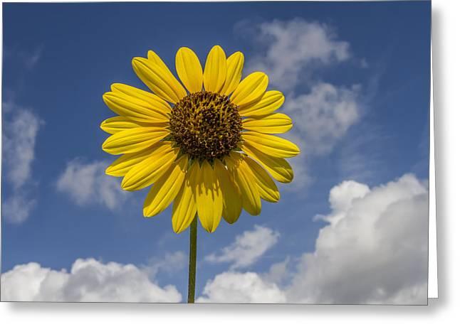 Cucumberleaf Sunflower Greeting Card
