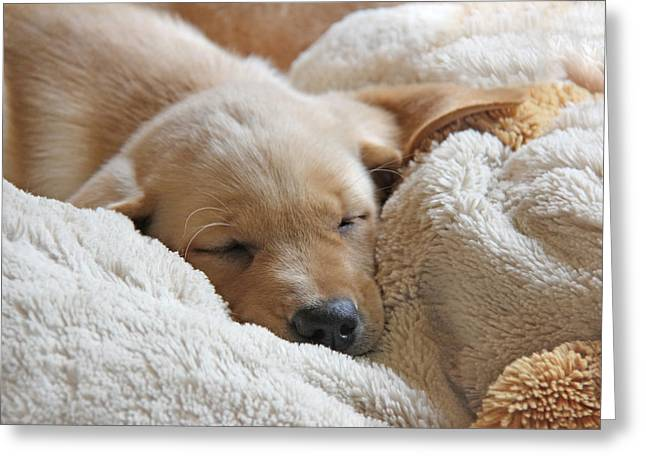 Cuddling Labrador Retriever Puppy Greeting Card by Jennie Marie Schell
