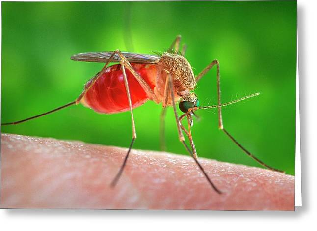 Culex Quinquefasciatus Mosquito Feeding Greeting Card by Cdc