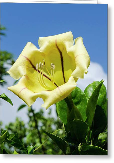 Cup Of Gold (solandra Maxima Greeting Card