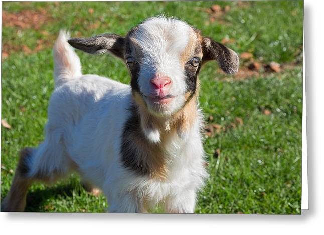 Curious Baby Goat Greeting Card