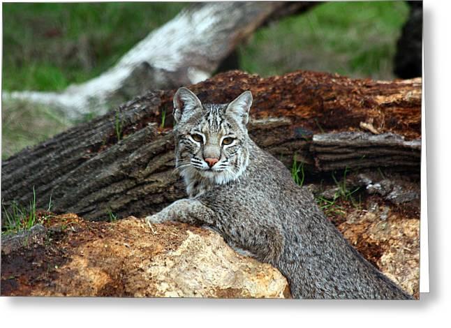 Curious Bobcat  Greeting Card by Jean Clark