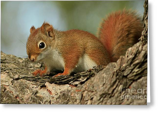 Curious By Nature Red Squirrel Greeting Card by Inspired Nature Photography Fine Art Photography
