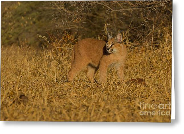 Curious Caracal Cub Greeting Card by Ashley Vincent