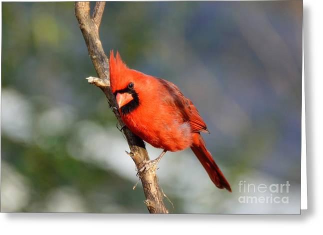 Curious Cardinal Greeting Card by Lisa L Silva