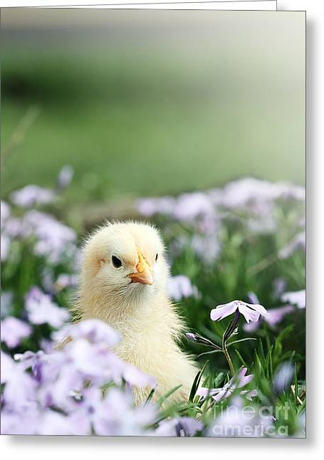 Curious Chick Greeting Card by Stephanie Frey