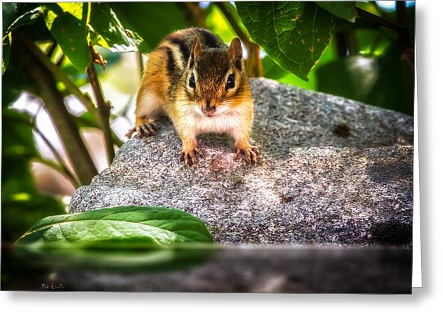 Curious Chipmunk  Greeting Card by Bob Orsillo