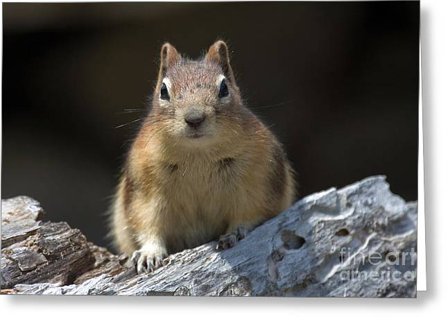 Greeting Card featuring the photograph Curious Chipmunk by Chris Scroggins