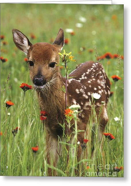 Curious Fawn Greeting Card by Chris Scroggins