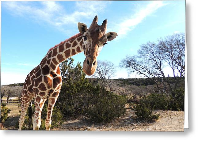 Curious Giraffe At Fossil Rim Wildlife Center Greeting Card