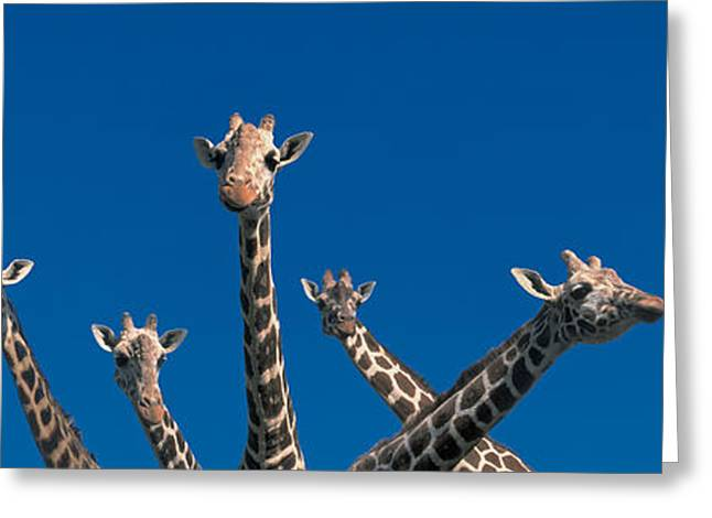 Curious Giraffes Concept Kenya Africa Greeting Card by Panoramic Images