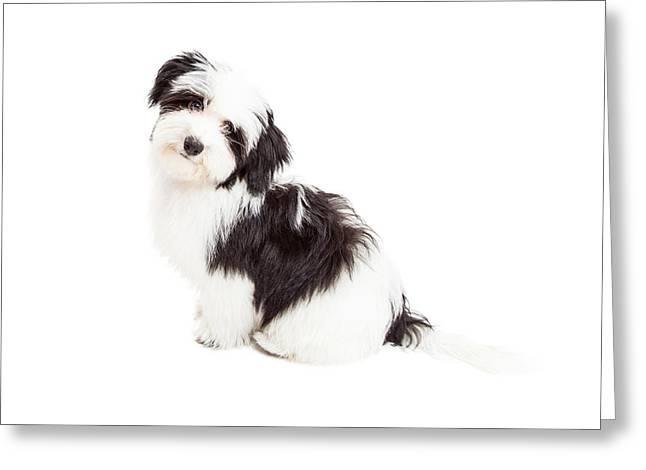 Curious Havanese Dog Sitting Greeting Card by Susan Schmitz