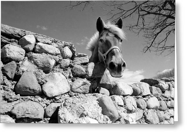 Curious Horse Greeting Card by Thomas Shanahan