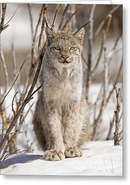 Curious Lynx Greeting Card by Tim Grams