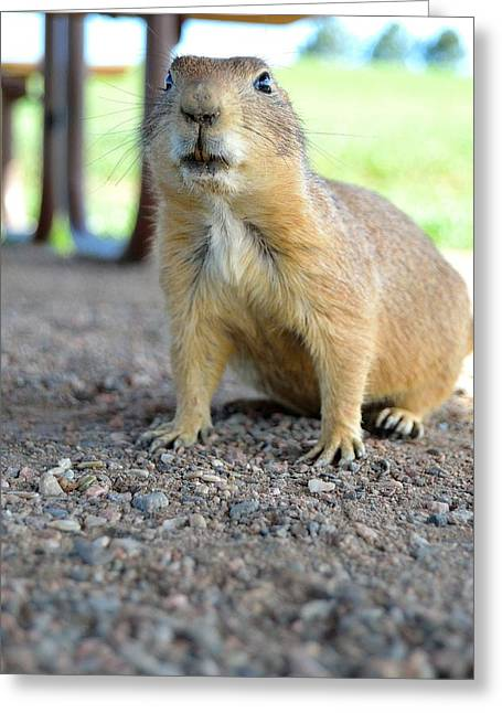 Curious Prairie Dog Greeting Card by Ray Franks