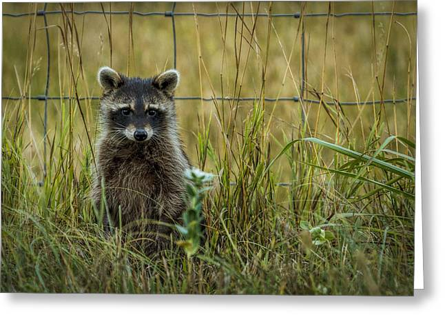 Curious Raccoon Greeting Card