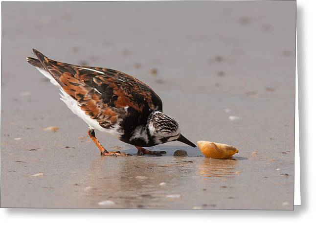 Curious Turnstone Greeting Card