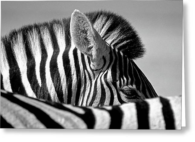 Curious Zebra Greeting Card by Marc Pelissier