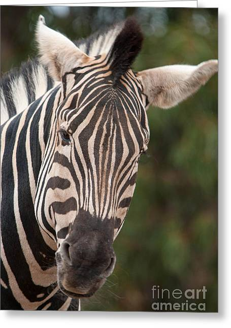 Curious Zebra Greeting Card