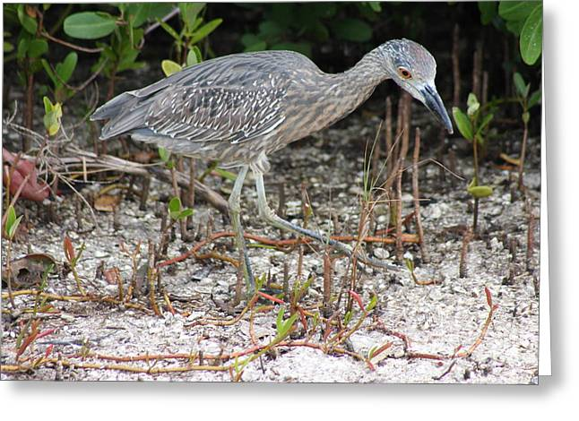 Curiously Bird-yellow Crowned Night Heron Chick Greeting Card by Christiane Schulze Art And Photography