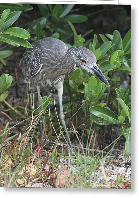 Curiously Night Heron Chick Greeting Card by Christiane Schulze Art And Photography